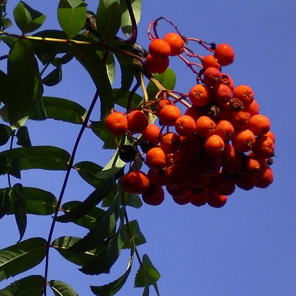 Eberesche Frucht Sorbus aucuparia