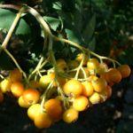 Bild: Eberesche Frucht rot Sorbus aucuparia