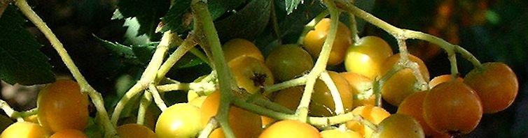 Anklicken um das ganze Bild zu sehen Eberesche Frucht rot Sorbus aucuparia
