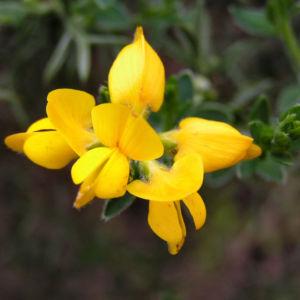 Echinospartium Bluete gelb Echinospartium lusitanicum 03