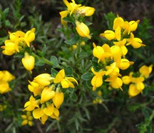 Echinospartium Bluete gelb Echinospartium lusitanicum 04