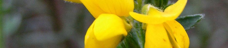 Anklicken um das ganze Bild zu sehen Echinospartium Blüte gelb - Echinospartium lusitanicum