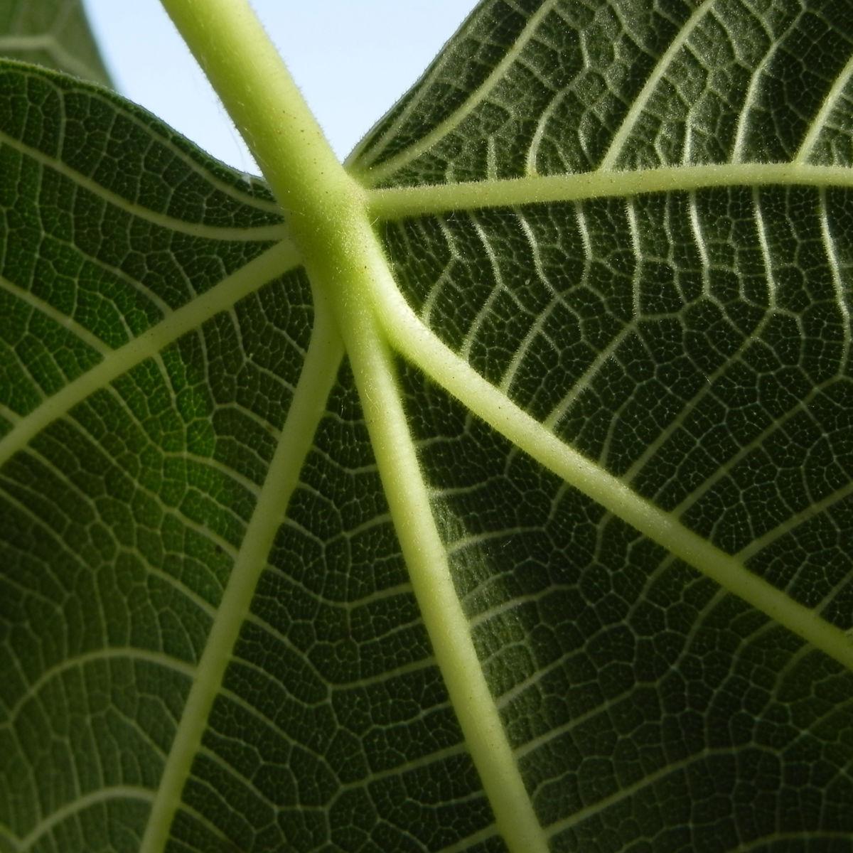 Echte Feige Baum Blatt gruen Rinde silber Frucht Ficus carica
