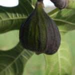 Echte Feige Baum Blatt gruen Rinde silber Frucht Ficus carica 06