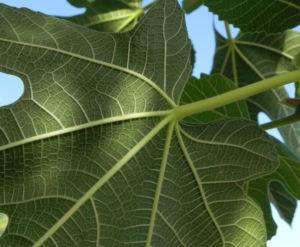 Echte Feige Baum Blatt gruen Ficus carica 03