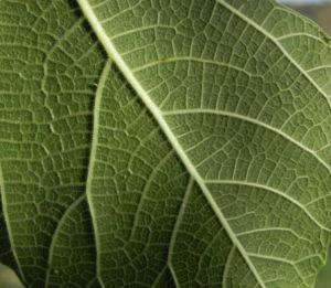 Echte Feige Baum Blatt gruen Ficus carica 04