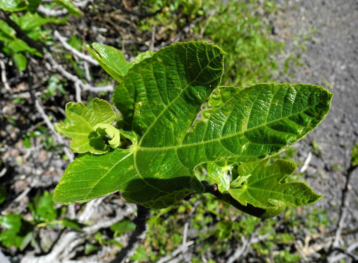 Echte Feigen Baum Blatt gruen Ficus carica