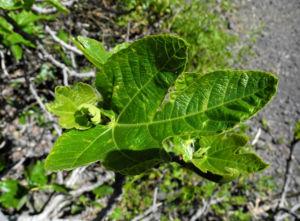 Echte Feigen Baum Blatt gruen Ficus carica 01