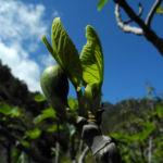 Echte Feigen Baum Frucht gruen Ficus carica 06