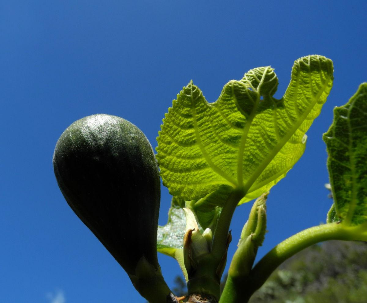Echte Feigen Baum Frucht gruen Ficus carica