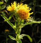 Bild: Gewöhnliche Goldrute Blüte gelb Solidago virgaurea