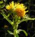 Zurück zum kompletten Bilderset Gewöhnliche Goldrute Blüte gelb Solidago virgaurea