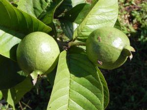 Echte Guave Baum Frucht gruen Psidium guajava 01