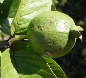 Echte Guave Baum Frucht gruen Psidium guajava 02