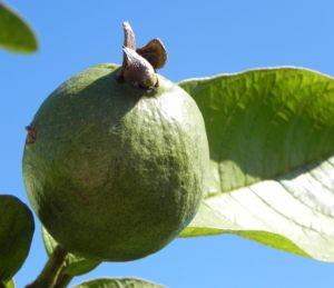 Echte Guave Baum Frucht gruen Psidium guajava 06