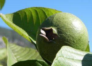 Echte Guave Baum Frucht gruen Psidium guajava 07
