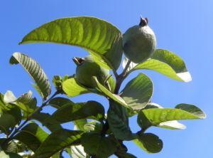 Echte Guave Baum Frucht gruen Psidium guajava 09