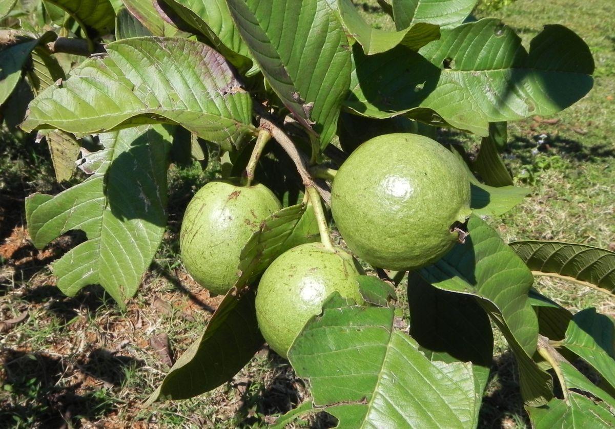 Echte Guave Baum Frucht gruen Psidium guajava