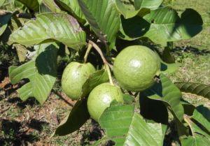 Bild: Echte Guave Baum Frucht gruen Psidium guajava