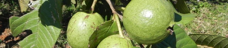 echte-guave-baum-frucht-gruen-psidium-guajava