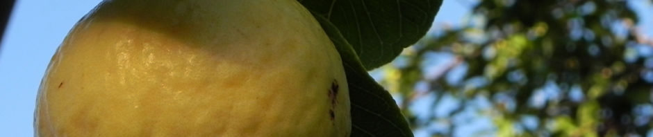 echte-guave-frucht-gelb-psidium-guajava