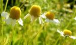 Echte Kamille Bluete weiss gelb Matricaria chamomilla 03