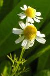 Echte Kamille Bluete weiss gelb Matricaria chamomilla 04