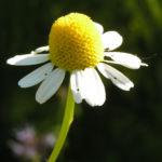Echte Kamille Bluete weiss gelb Matricaria chamomilla 06
