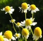 Echte Kamille Bluete weiss gelb Matricaria chamomilla 07