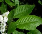 Echte Mispel Bluete weiss Blatt gruen Mespilus germanica 01