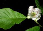Echte Mispel Bluete weiss Blatt gruen Mespilus germanica 02