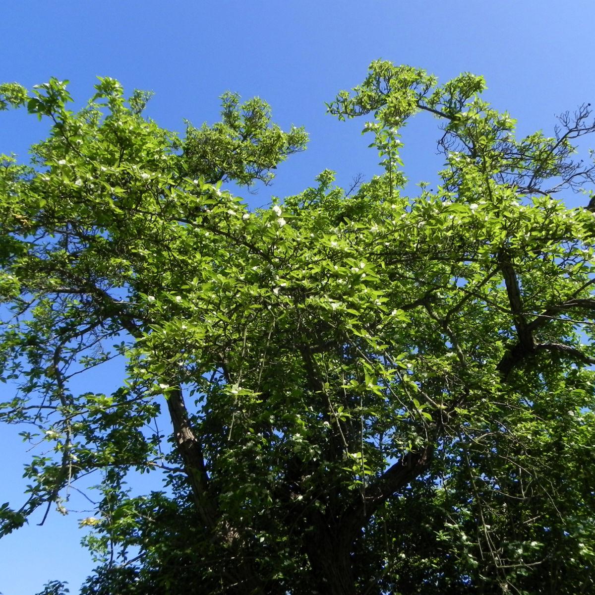 Echte Mispel Bluete weiss Blatt gruen Mespilus germanica