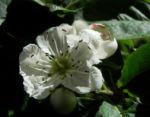 Echte Mispel Bluete weiss Mespilus germanica 01