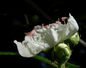 Echte Mispel Bluete weiss Mespilus germanica 09