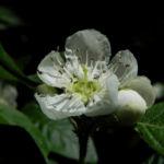 Bild: Echte Mispel Blüte weiß Blatt grün Mespilus germanica