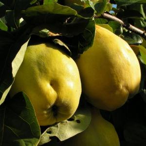 Echte Quitte Frucht gelb Cydonia oblonga 02