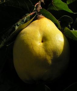 Echte Quitte Frucht gelb Cydonia oblonga 03