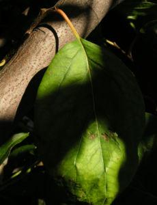 Echte Quitte Frucht gelb Cydonia oblonga 05