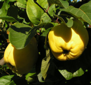 Echte Quitte Frucht gelb Cydonia oblonga 08