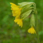 Echte Schluesselblume Bluete gelb Primula veris 01
