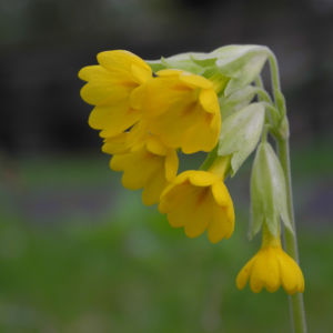 Echte Schluesselblume Bluete gelb Primula veris 02