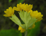 Echte Schluesselblume Bluete gelb Primula veris 06