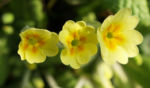 Echte Schluesselblume Bluete hellgelb Primula vulgaris 03