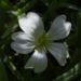 Zurück zum kompletten Bilderset Echte Sternmiere Blüte weiß Stellaria holostea