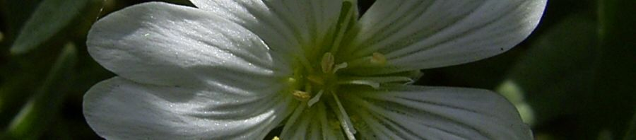 Anklicken um das ganze Bild zu sehen Echte Sternmiere Blüte weiß Stellaria holostea
