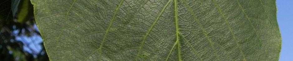 echte-walnuss-baum-rinde-frucht-gruen-silber-grau-juglans-regia
