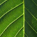 Bild: Echte Walnuß Baum Rinde Frucht grün silber grau Juglans regia