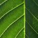 Zurück zum kompletten Bilderset Echte Walnuß Baum Rinde Frucht grün silber grau Juglans regia