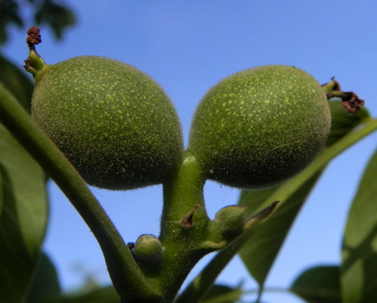 Echte Walnuss Baum Blatt Frucht gruen Juglans regia