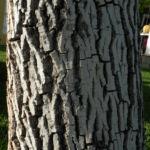 Echte Walnuss Baum Blatt Frucht gruen Juglans regia 09